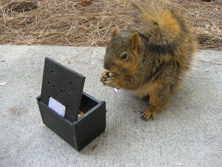 Fox squirrel with apparatus