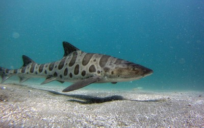 Olfactory navigation demonstrated in Leopard Sharks